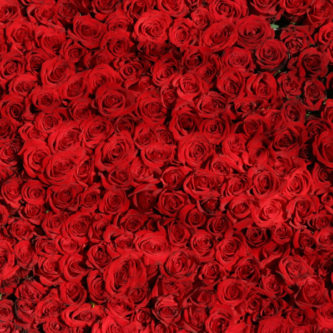 wall of red roses